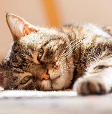 senior cat laying down: Pet Euthanasia in Sunrise